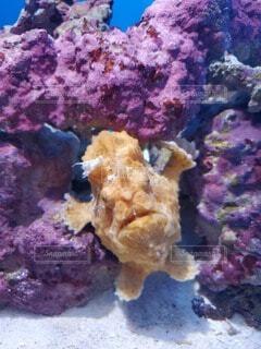 魚,黄色,水族館,水中,カエルアンコウ,海洋無脊椎動物
