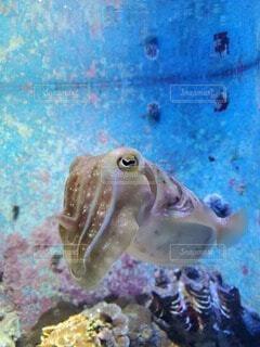 動物,水族館,水中,睨む,イカ,軟体動物,海洋無脊椎動物