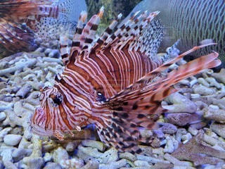 動物,魚,水族館,水中,ミノカサゴ,海底,コーラル,海洋無脊椎動物
