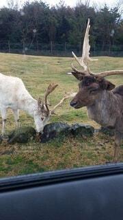 動物,屋外,草,樹木,鹿,トナカイ,又角