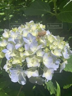 花,緑,紫陽花,カタツムリ,草木,フローラ