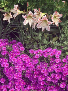 花,屋外,ピンク,紫,草木,ガーデン,フローラ