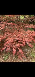 花,秋,屋外,葉,草,草木,カエデ