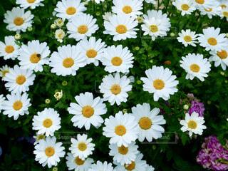 風景,花,白,デイジー,草木,ガーデン,ヒナギク