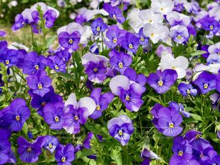 花,屋外,緑,紫,パンジー,草木,ガーデン