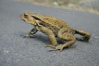道を我が物顔で闊歩する蛙の写真・画像素材[4485608]