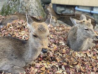 自然,動物,屋外,癒し,鹿,地面,お昼寝,くつろぎ,小鹿