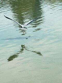 水面を飛ぶアオサギの写真・画像素材[4574905]