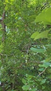自然,木,屋外,緑,葉,大木,樹木,癒し,野鳥,草木,さえずり