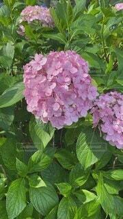 自然,花,屋外,綺麗,あじさい,紫陽花,野鳥,長閑,ガーデン,フローラ,野鳥のさえずり