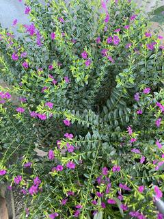 むらさき色の小花の写真・画像素材[4936831]