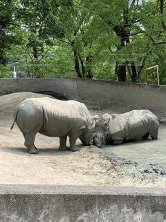 動物,屋外,水,樹木,象,地面,動物園,サイ,沼,2頭,喧嘩