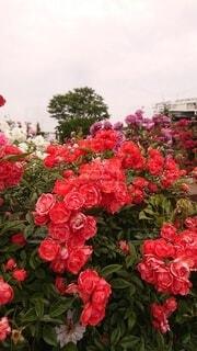 花,バラ,横浜,港町,ガーデン