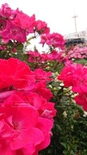 花,船,バラ,横浜,港町,ガーデン