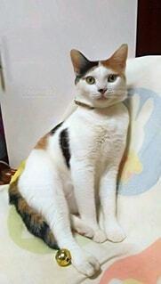 猫,動物,屋内,かわいい,座る