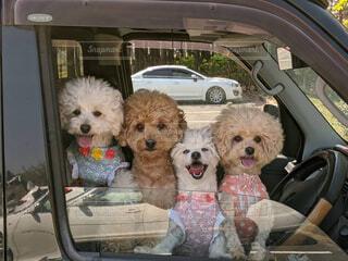 犬,動物,屋外,かわいい,車,子犬,プードル,ドライブ