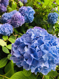 自然,あじさい,景色,紫陽花,梅雨,6月,アジサイ