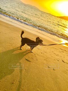 犬,海,散歩,浜辺,夕陽
