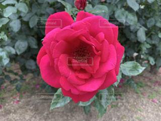 花,屋外,赤,バラ,花びら,薔薇,草木,フローラ,ハイブリッドティーローズ