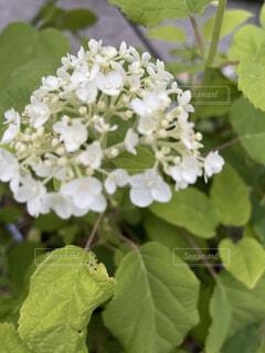 花,緑,紫陽花,梅雨,草木,アナベル,アジサイ,フローラ