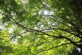 緑,木漏れ日,樹木