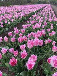花,屋外,ピンク,紫,チューリップ,草木,ガーデン,ブルーム,フローラ