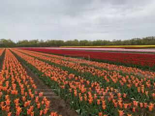 空,花,屋外,景色,チューリップ,オレンジ,草