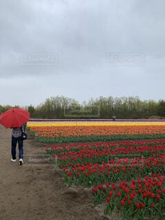 空,花,屋外,赤,チューリップ,草,草木