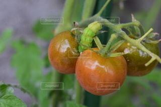 食べ物,自然,オレンジ,果物,トマト,野菜,ミニトマト,虫,はらぺこあおむし,栽培,幼虫,無農薬,自家菜園,自然食品,よう虫,リアルはらぺこあおむし