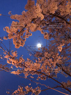 自然,空,秋,桜,夜,夜空,樹木,月,満月,草木,月と花,満月と月