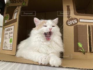 猫,カフェ,動物,屋内,白,居眠り,猫カフェ,店番,ブリティッシュロングヘアー