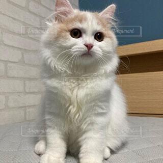 猫,動物,白,かわいい,ふわふわ,子猫,癒し,座る,ネコ科,もふもふ,ブリティッシュロングヘアー