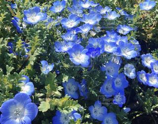 花,春,青,ネモフィラ,草木,ブルーム,フローラ