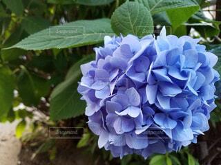 風景,花,あじさい,景色,紫陽花,草木,アジサイ