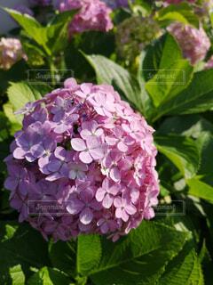 花,ピンク,緑,あじさい,紫陽花,梅雨,6月,草木,trip,アジサイ,ガーデン,ブルーム,トリップ,フローラ