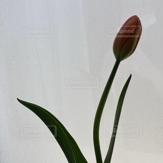 風景,インテリア,花,チューリップ,壁,茎,フラワーベース,草木,小花柄,フローラ