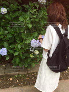 アジサイの写真を撮る女性の写真・画像素材[4524703]
