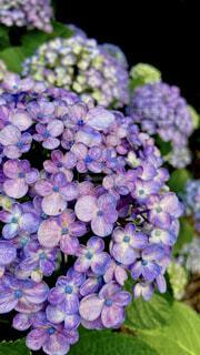 花,紫,景色,ポップコーン,梅雨,草木,6月
