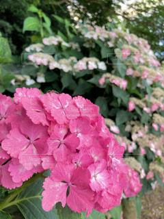 花,屋外,ピンク,景色,紫陽花,梅雨,草木,6月,フローラ