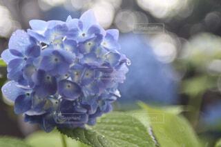 花,庭,緑,植物,紫陽花,雫,草木