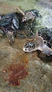 自然,海,動物,屋外,湖,南国,ビーチ,水面,葉,岩,カメ,奄美大島,爬虫類