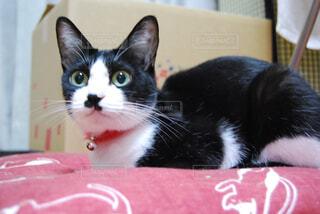猫,動物,屋内,赤,白,かわいい,黒,子猫,黒猫,ネコ科,ハチワレ猫,猫の家具