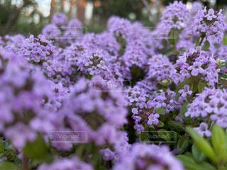自然,花,植物,紫,景色,癒し,ナチュラル,ローズマリー,クローズ アップ