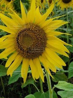 向日葵とミツバチの写真・画像素材[4659044]