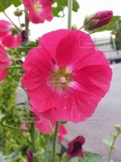 花,屋外,赤,ハイビスカス,可愛い,草木,夏の花,タチアオイ,フローラ,たちあおい