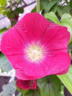 花,夏,可愛い,夏の花,タチアオイ,たちあおい