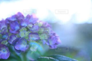 花,紫陽花,梅雨,草木,アジサイ,フローラ