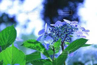 花,雨,紫陽花,梅雨,6月,草木,アジサイ,フローラ