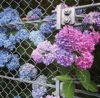 花,屋外,あじさい,ラベンダー,紫陽花,フェンス,ライラック,梅雨,ガーデン