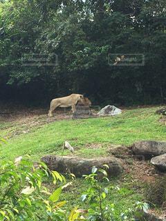 動物,屋外,森,草原,景色,草,樹木,馬,シンガポール,立つ,鹿,動物園,トラ,ライオン,Zoo,草木